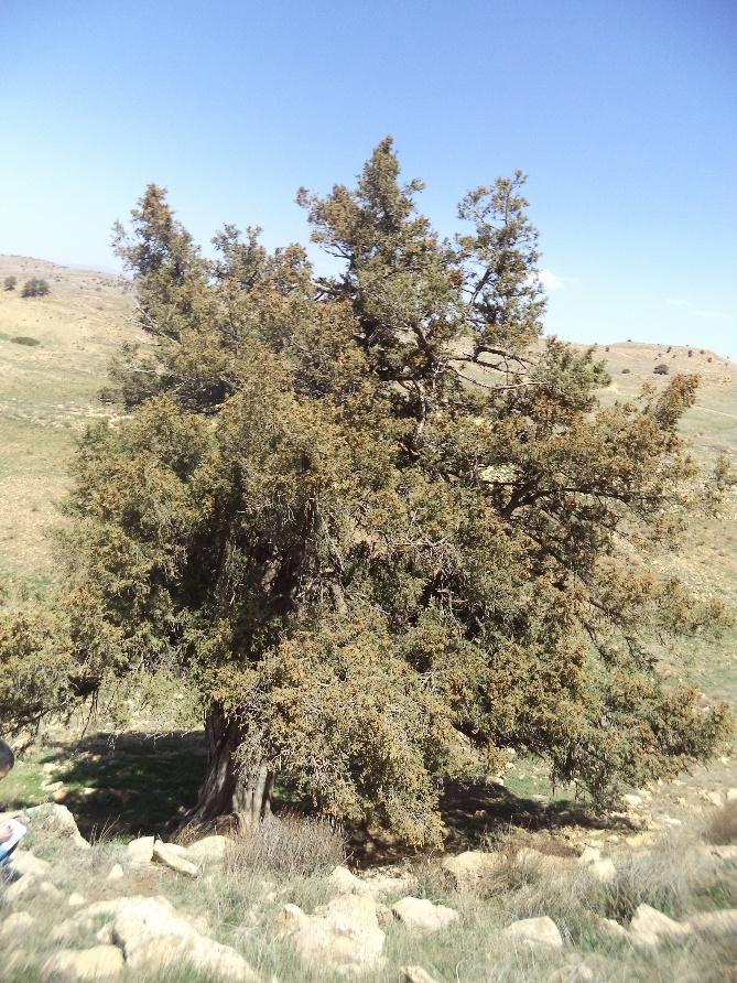 الصورة 2 : شجرة مقدسة معلق عليها خرق بمنطقة هكوكث