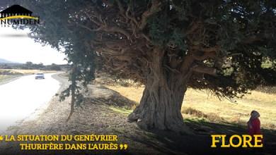 Photo de La situation du Genévrier thurifère dans l'Aurès
