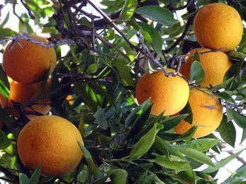 Agrumi a rischio in Sicilia e nell'Europa mediterranea per un batterio che arriva dalla Cina