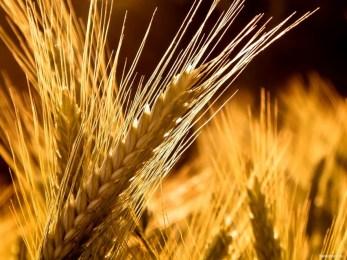 Grano, l'oro da riscoprire: da Campofelice di Fitalia il progetto di un nuovo modello di agricoltura