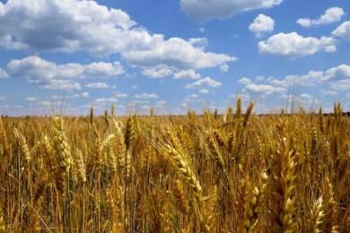 La pasta con l'11% di glutine? Ora va bene anche all'industria. Il grano estero farà la fine dell'olio di palma?
