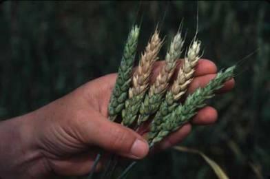 Tutto quello che è necessario sapere sulle micotossine nei cereali: origine, rischi, soluzioni