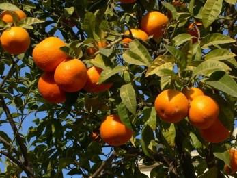 Agrumi: la Sicilia ha tra le mani un affare miliardario. Si chiama limonene e si trova nelle bucce delle arance. Ma...