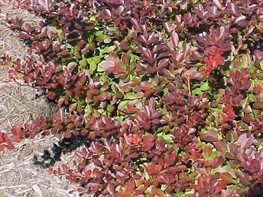 Japanese barberry, Berberis thunbergii  (Ranunculales: Berberidaceae)