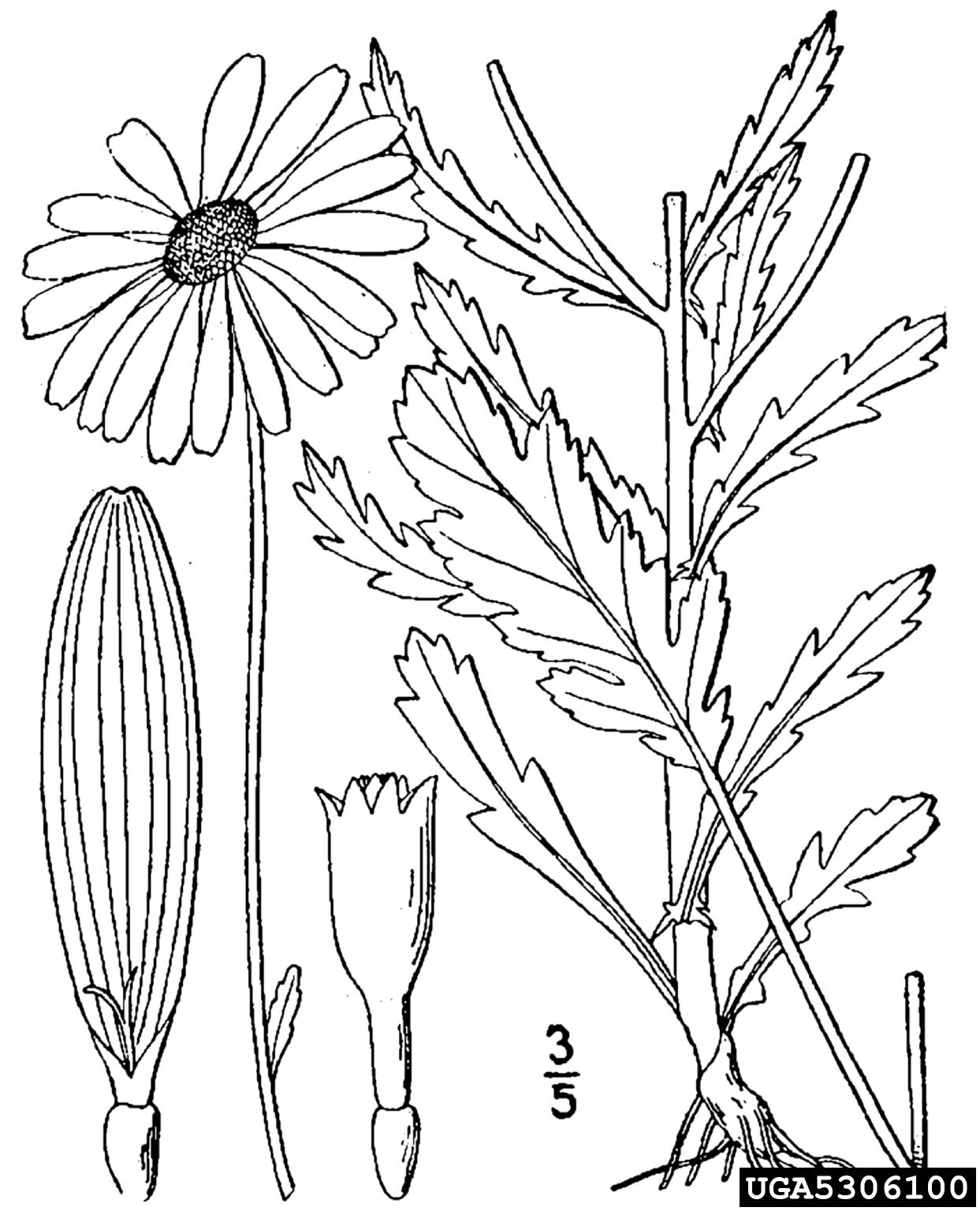 Oxeye Daisy Leucanthemum Vulgare Asterales Asteraceae