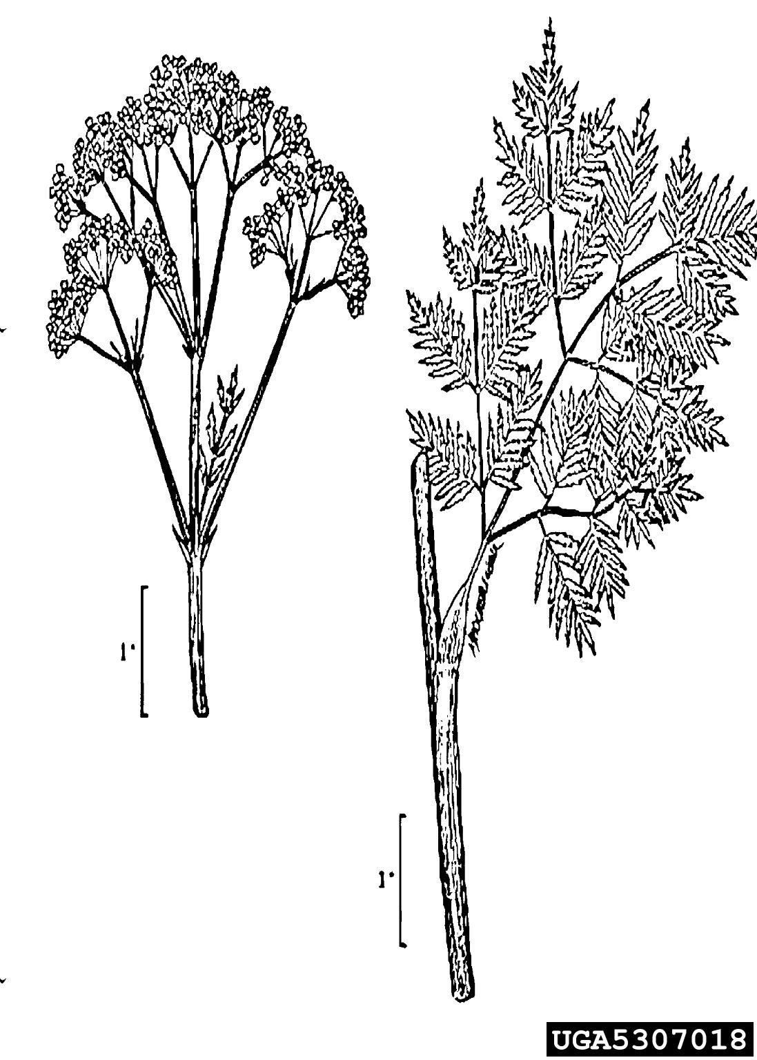 Poison Hemlock Conium Maculatum Apiales Apiaceae
