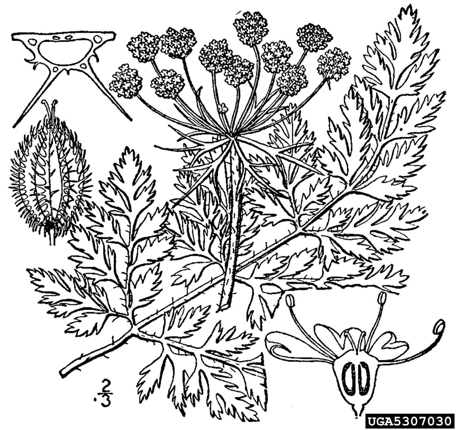 Queen Anne S Lace Wild Carrot Daucus Carota Apiales