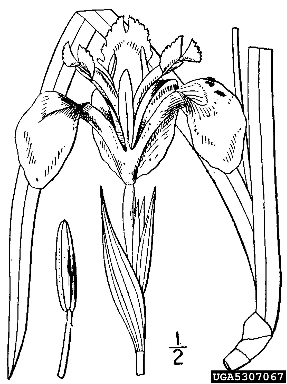 Yellowflag Iris Iris Pseudacorus Liliales Iridaceae