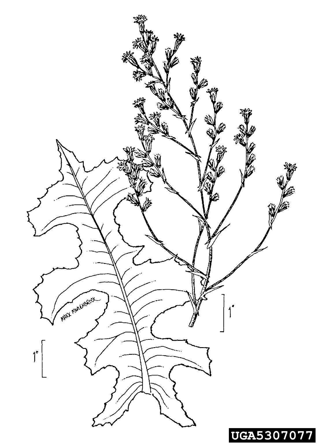 Prickly Lettuce Lactuca Serriola Asterales Asteraceae