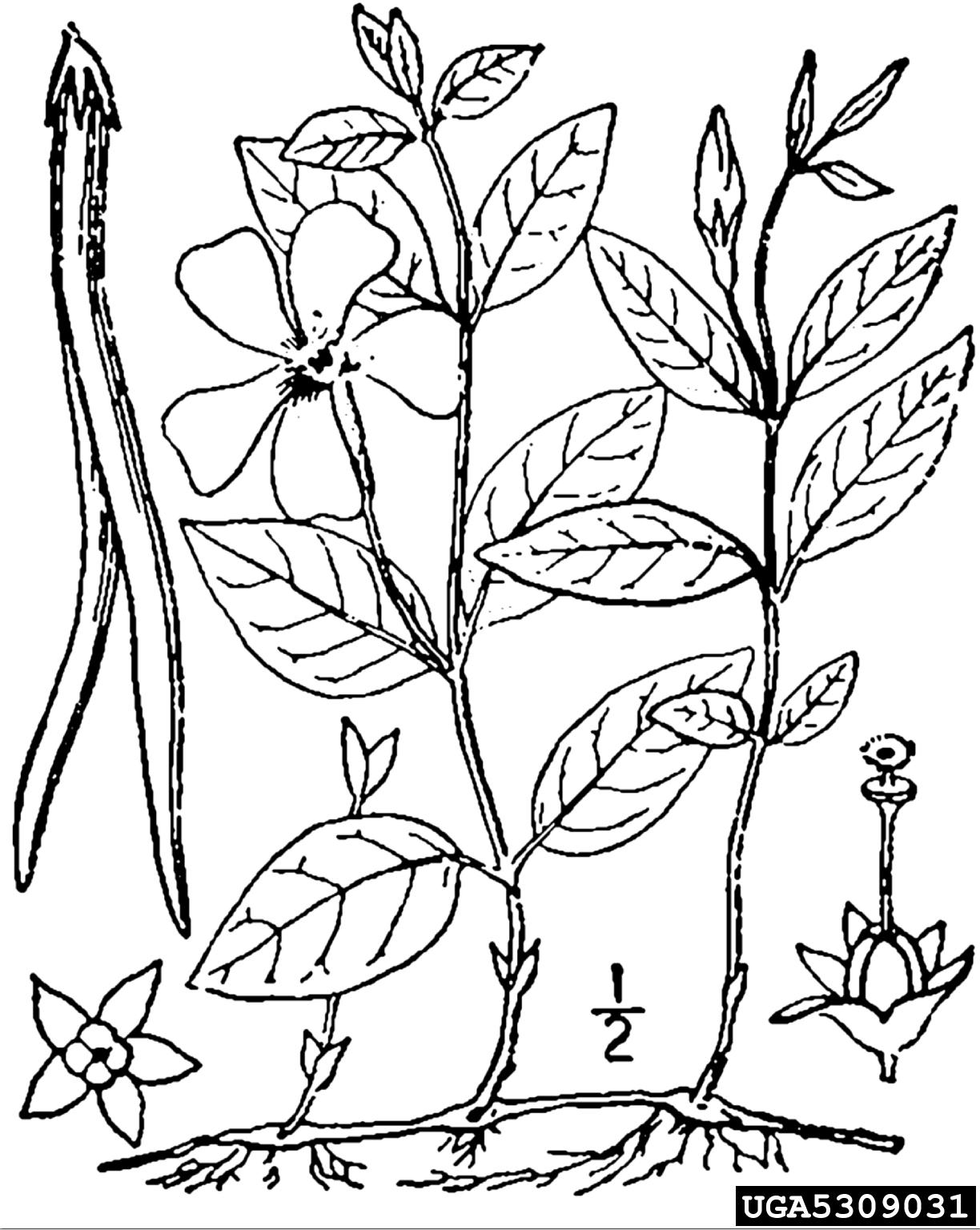 Common Periwinkle Vinca Minor Genti Es Apocynaceae