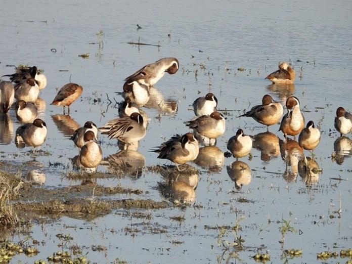 280 more migratory birds found dead in HP