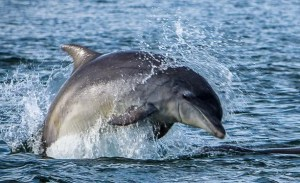 Moray Firth Dolphin - A short drive from Inverness
