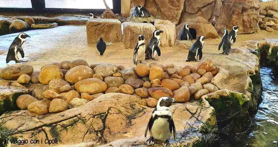 pinguini sudafricani