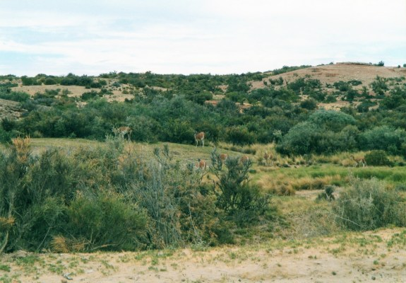 Viaggio in Patagonia, branco di guanachi al pascolo (Argentina)