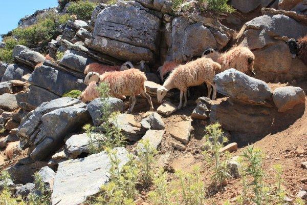 Gregge pecore Creta