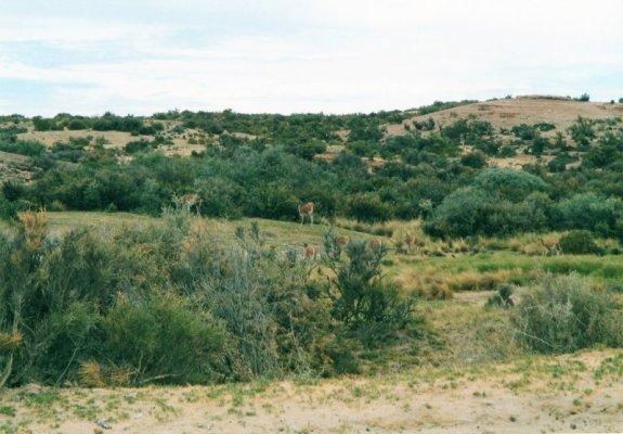 Branco guanachi Patagonia