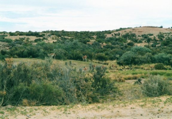 Un branco di guanachi in Patagonia