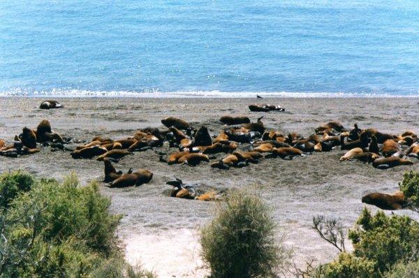 Leoni marini Punta Norte Peninsula de Valdes
