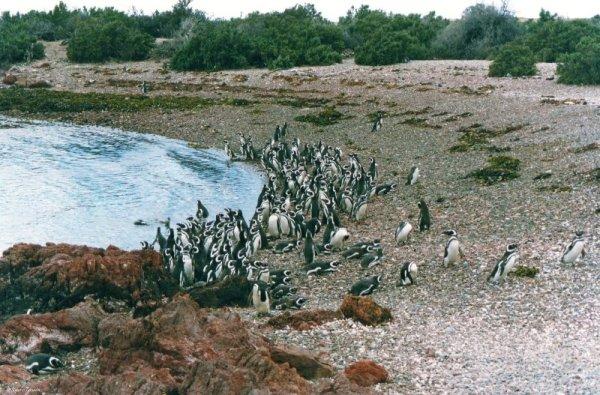 Pinguini di Magellano nella riserva di Punta Tombo in Patagonia