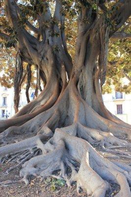 Ficus giardino La Glorieta Valencia