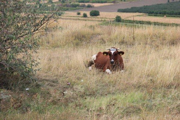 Mucca al pascolo Orheiul Vechi Moldova