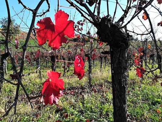 Le vigne dei Colli Orientali del Friuli con i colori dell'autunno