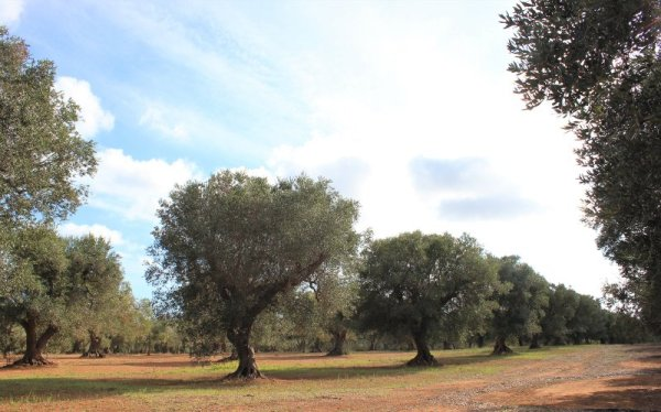 Un podere di ulivi nel Salento