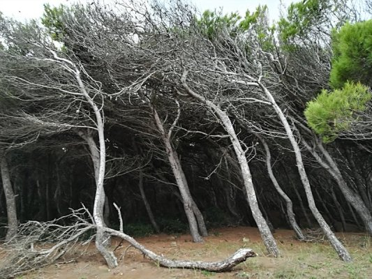 La pineta della spiaggia di Torre dell'Orso in Salento