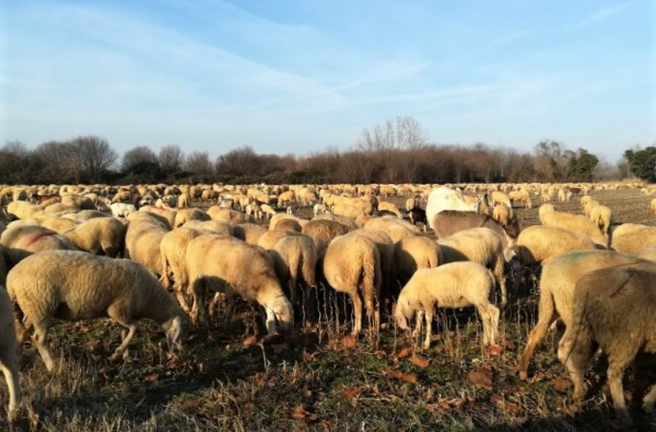 Gregge di pecore nella campagna friulana