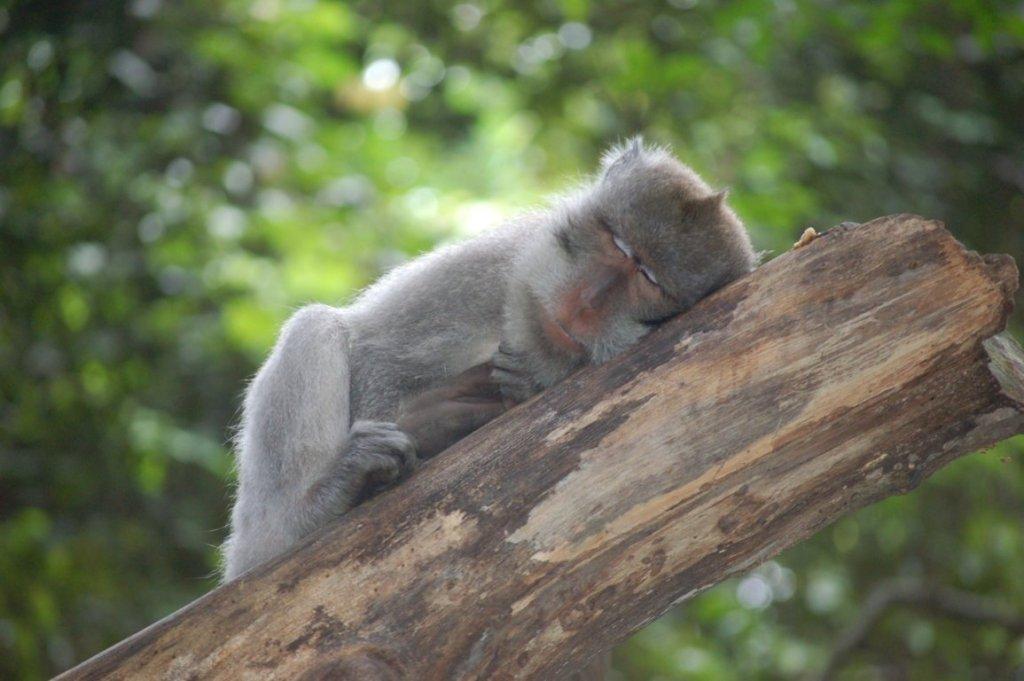 Sacred Monkey Forest di Ubud