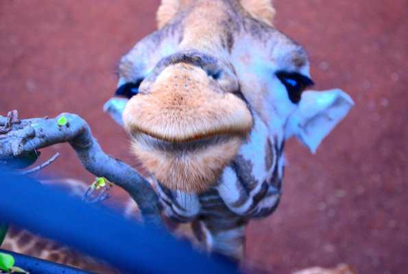 Dispatch From Kenya: Giraffe Manor
