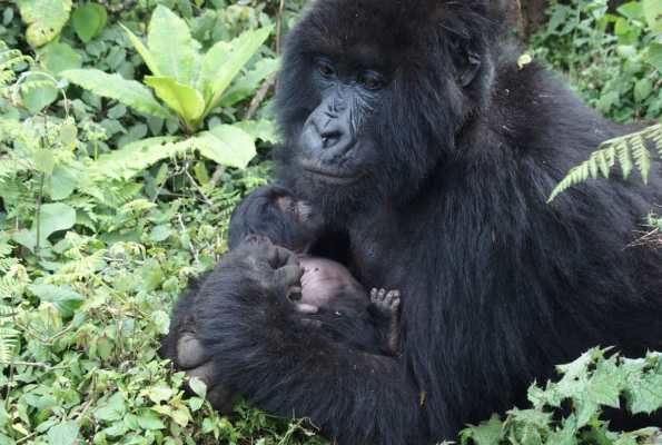 Gorilla Trekking in Rwanda: A Birthday in Volcanoes National Park