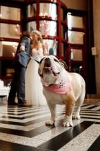bulldog wedding photo shoot