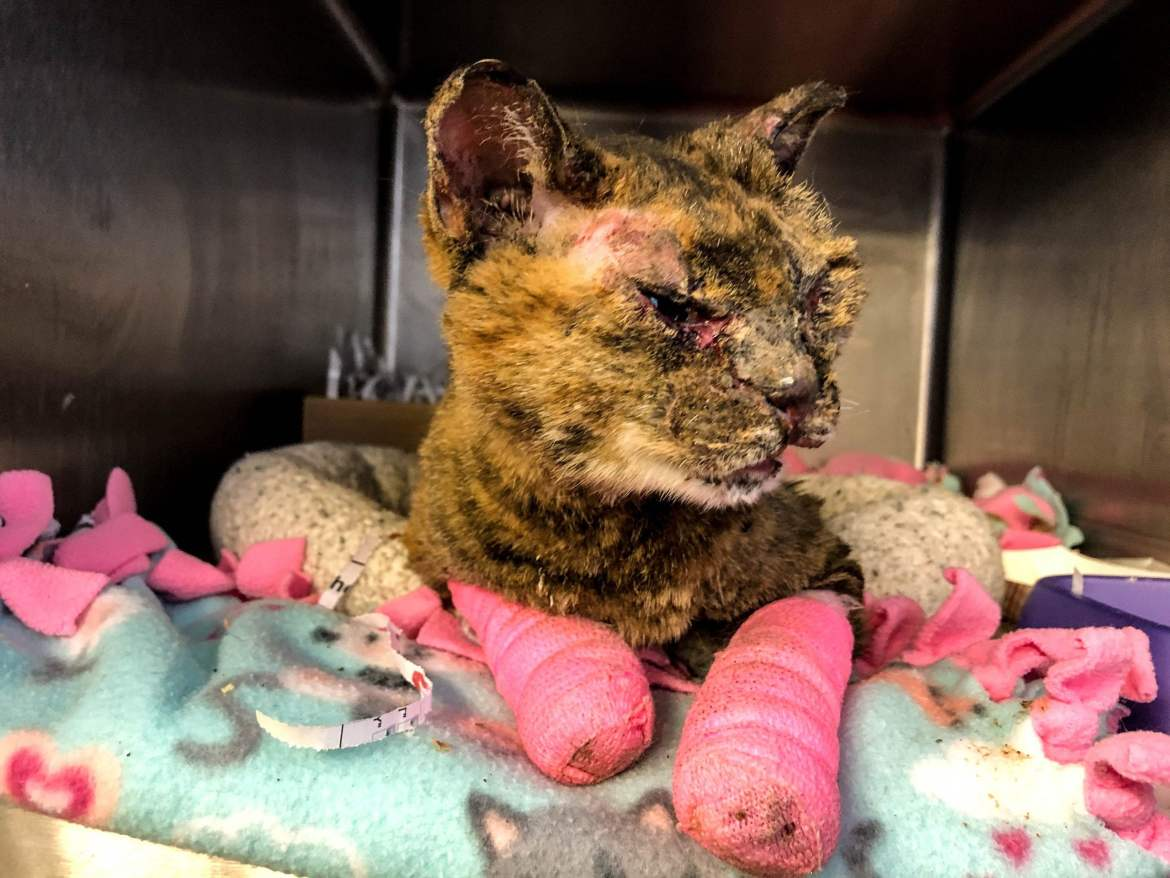 ARL Caring for Cat Found Severely Burned and Abandoned in Des Moines