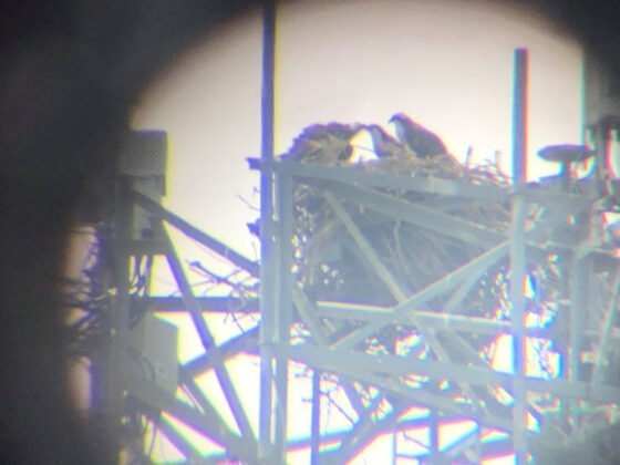Gift of Birdwatching: Reappearing osprey 2