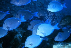 Blue_Tang