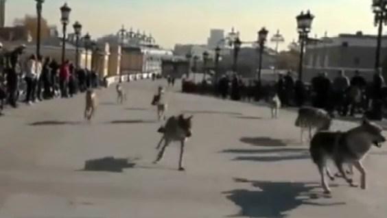 loups-attaquent-nouveau-en_35bdl_1kpvvw