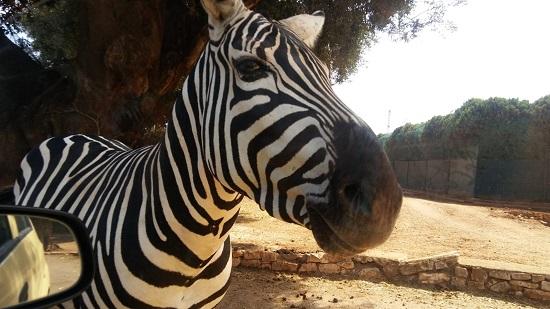 attrazione-puglia-zoosafari-zebra