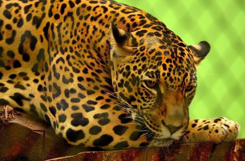 Información del yaguareté - Qué come, donde habita