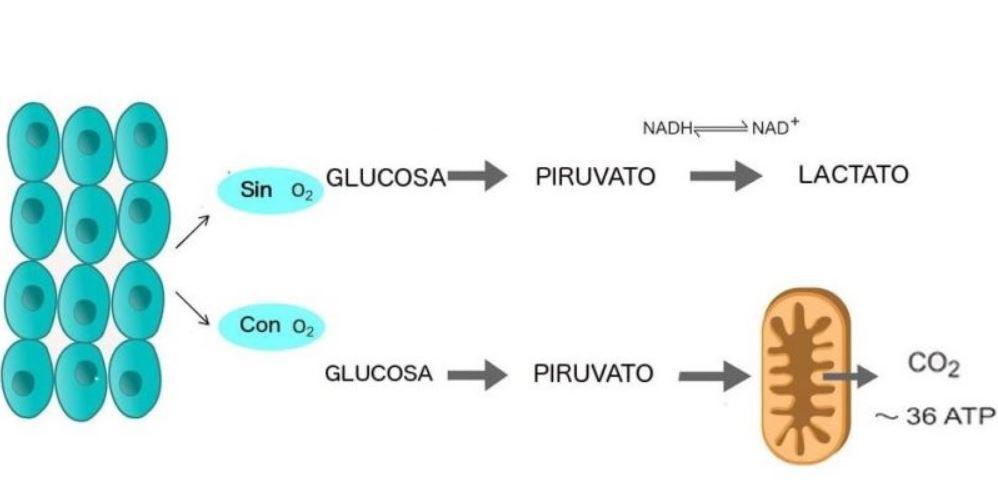 La glucólisis es el mecanismo para obtener energía a partir de la glucosa