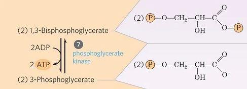 Transferencia de fosfato de 1,3-difosfoglicerato a ADP