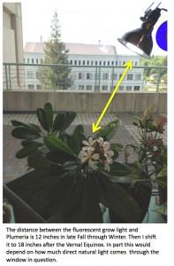 Plumeria indoors