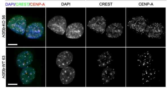 histone H3.3 knockout CENPA CREST