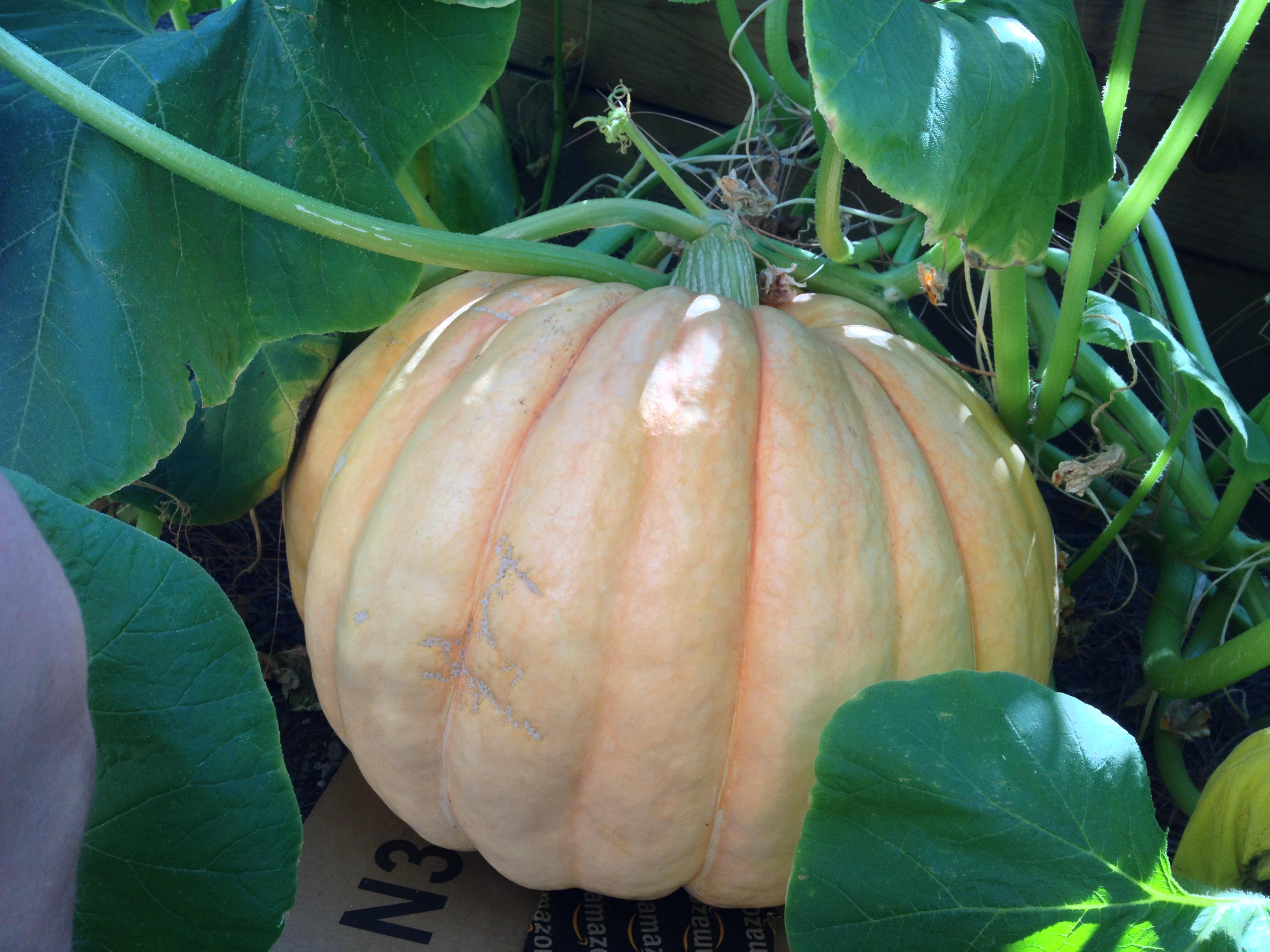 giant pumpkin california