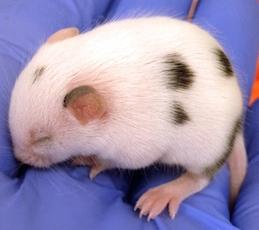 CRISPR mouse