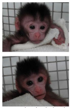 CRISPR primates