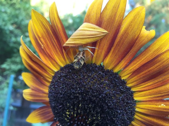 spider catches bee