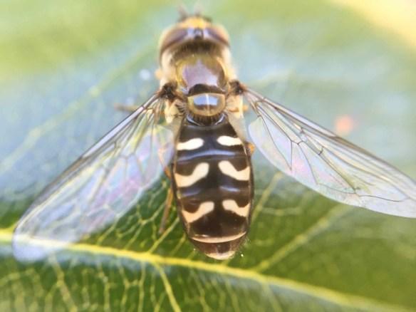 Hoverflies Batesian mimickry