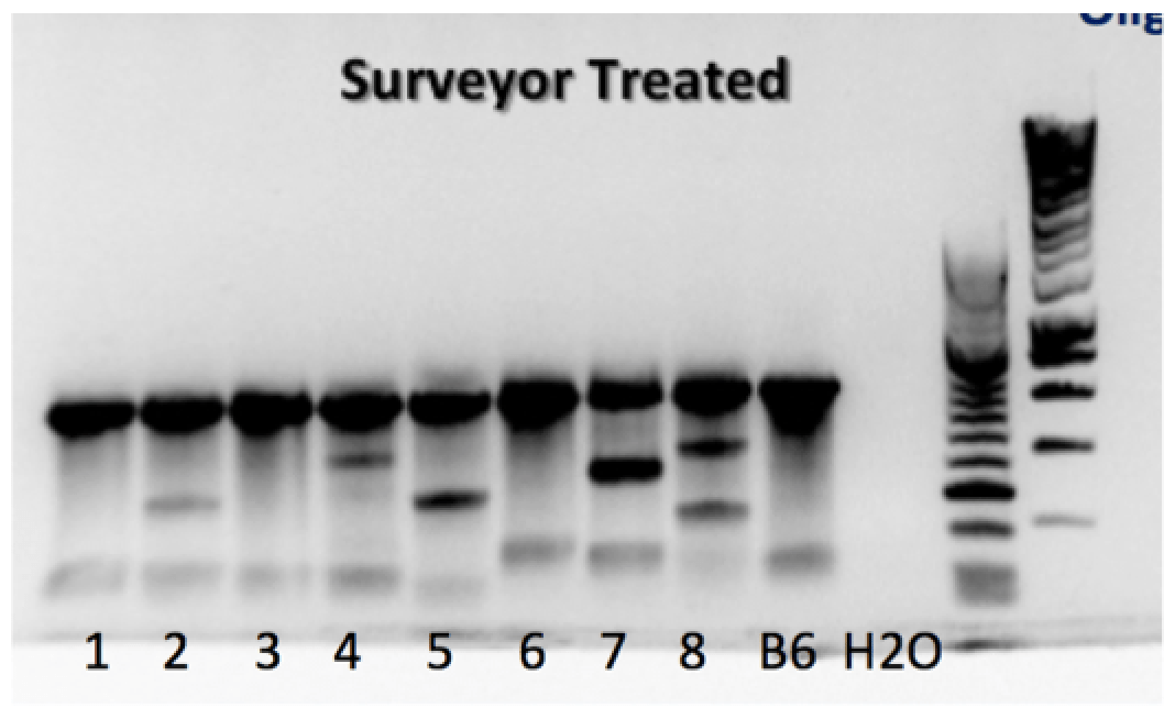Figure 2: T7E treatment on the PCR product of the NgAgo injected Zygotes Interestingly at higher concentration of 5' phosphorylated oligo and the same primer set, these extra bands almost disappeared (see Figure 3). We saw this with others genes too (Tet1 and Tet2).