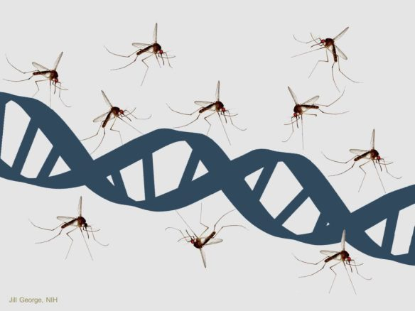 mosquito-gene-drive
